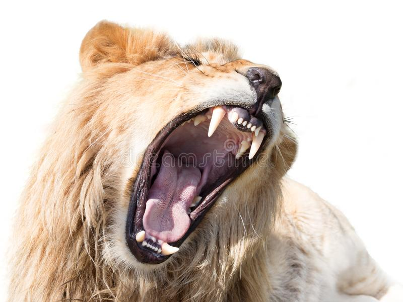 Furious mighty lion. Roaring lion male isolated on white background stock photos