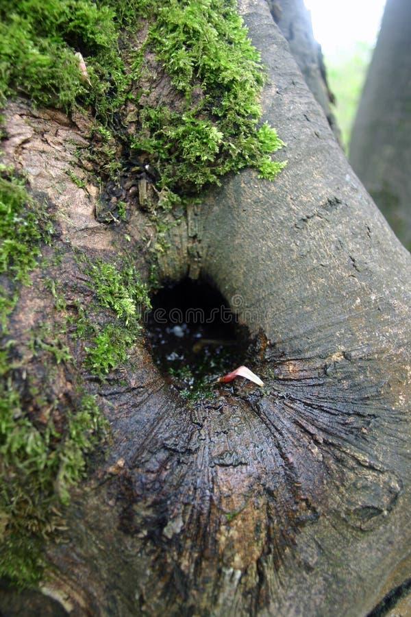 Furo da podridão da árvore fotos de stock royalty free
