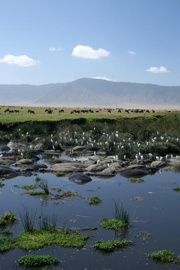 Furo de água - cratera de Ngorongoro, Tanzânia, África foto de stock