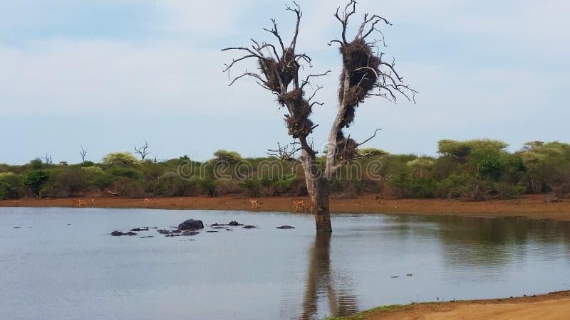 Furo de água do parque nacional de Kruger fotografia de stock