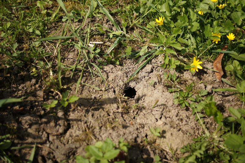 Furo do rato na terra Toupeira do vison no gramado na grama ver?o Forrest imagem de stock