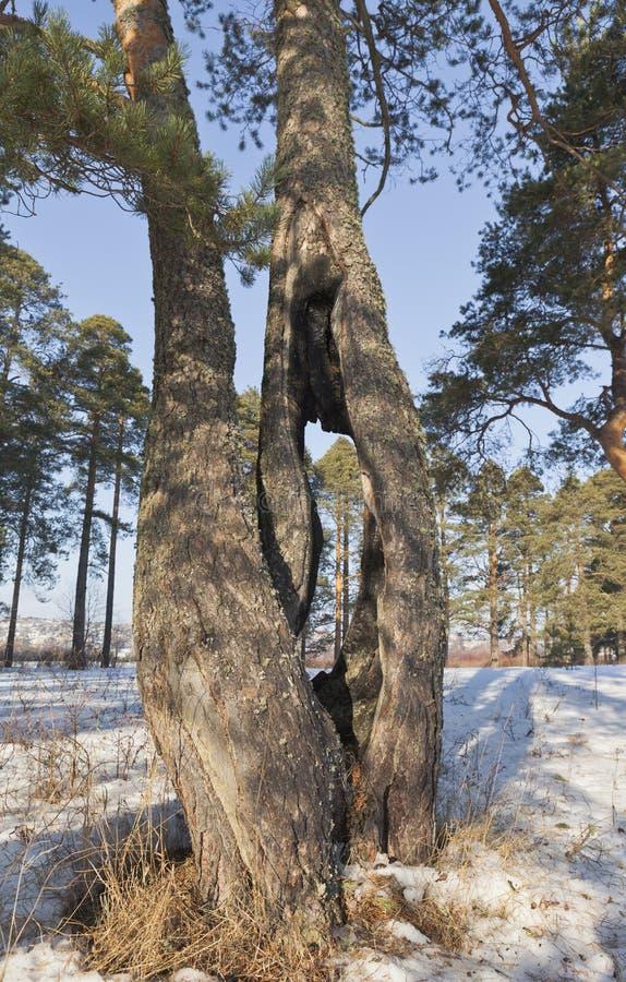 Furo no tronco de um pinho fotografia de stock