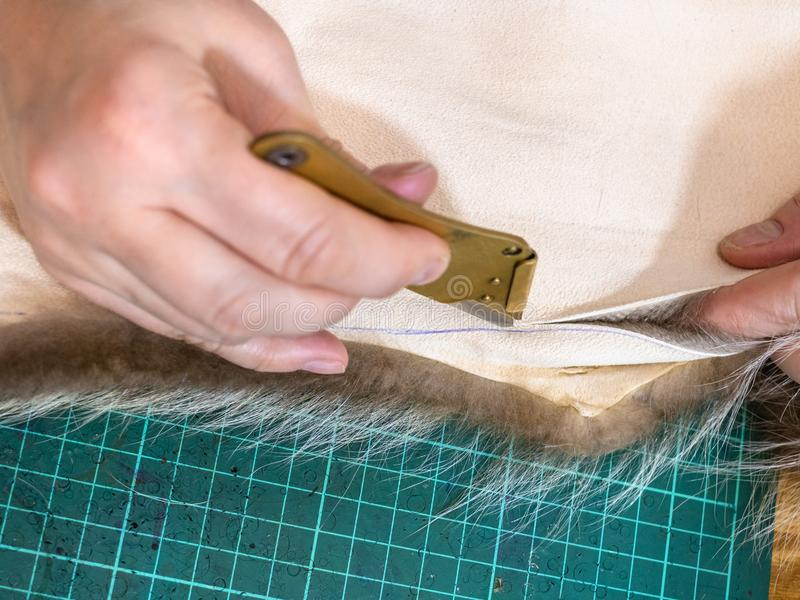 Furrier cuts the edge of fur pelt by knife. Workshop of manufacturing of coats from raccoon fur - furrier cuts the edge of fur pelt by knife royalty free stock photo