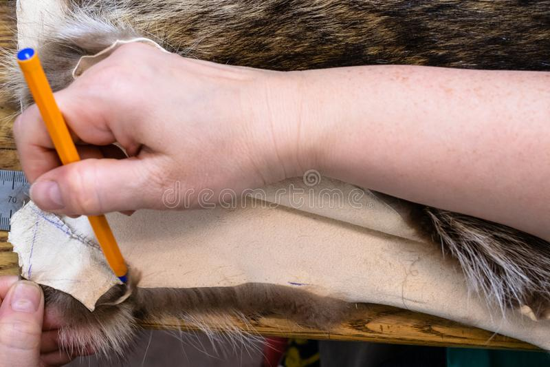 Furrier draws a pattern on a fur pelt with pen. Workshop of manufacturing of coats from raccoon fur - furrier draws a cutting pattern on a fur pelt with pen royalty free stock photos