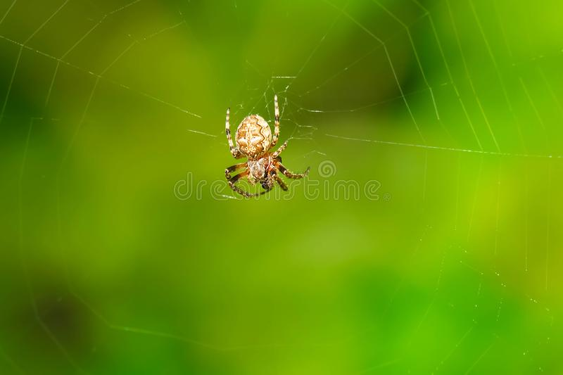 Furrow Orbweaver Spider - Larinioides cornutus. Female Furrow Orbweaver Spider sitting in her web patiently waiting for lunch. Also known as a Foliate Spider royalty free stock image