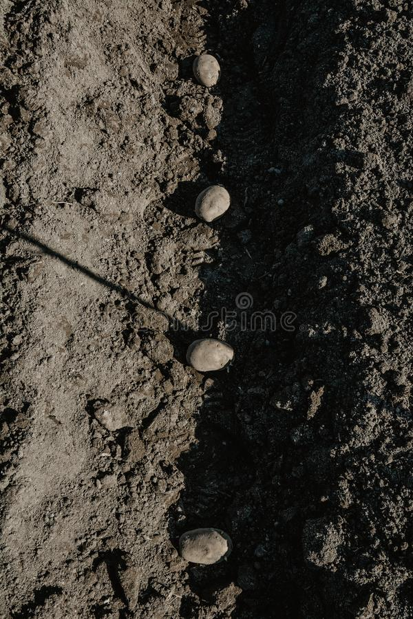 Furrow row with potatoes in organic field prepared for planting. Manually. Vertical image, frontal view stock photo