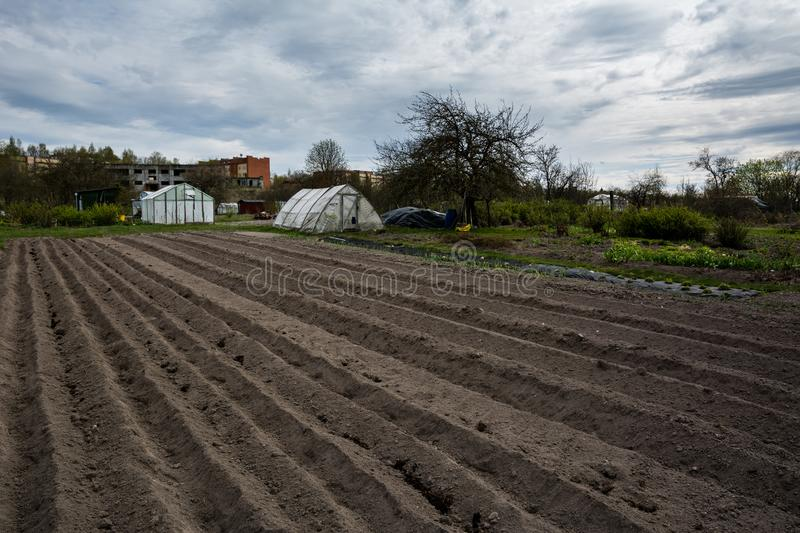 Furrow rows with potatoes just planted in organic family garden. Organic farming royalty free stock images
