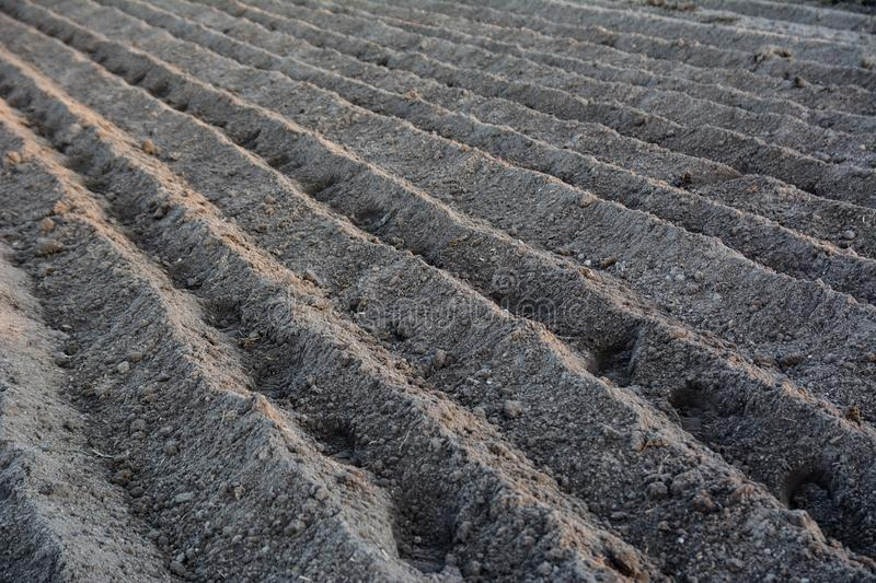 Furrow rows with potatoes just planted in organic field. Organic. Farming royalty free stock photos