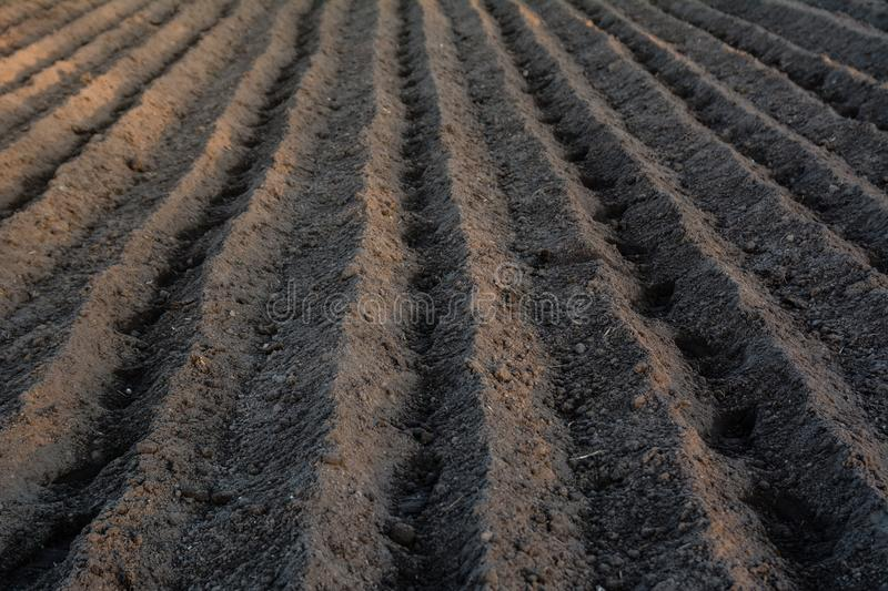 Furrow rows with potatoes just planted in organic field. Organic. Farming royalty free stock images