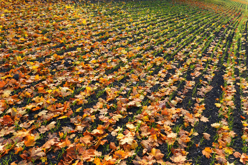 Furrows row pattern with orange maple leaf and green grass on dark autumn plowed field. Autumn meandering plowed field, covered w stock images