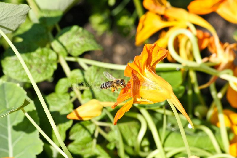 A furry bee flies to a yellow flower nasturtium in macro shot. On a blurred green background stock photo