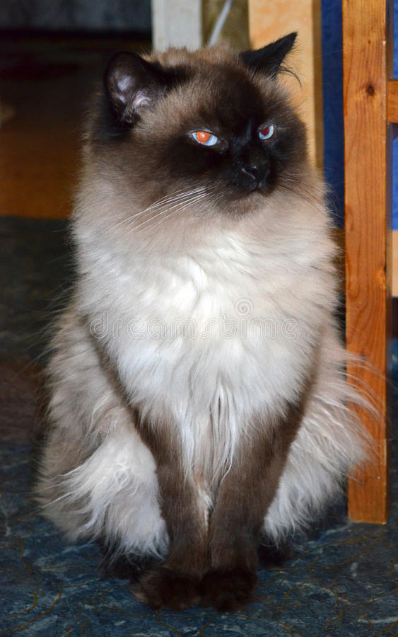 Furry birma cat in bad mood. Grown-up beautiful furry birma cat sitting near a chair in bad mood stock photography