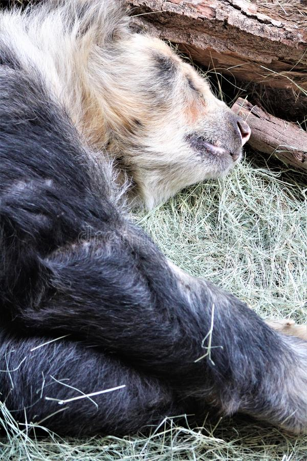 Andean bear laying down at the Phoenix Zoo, in Phoenix, Arizona, United States stock photos