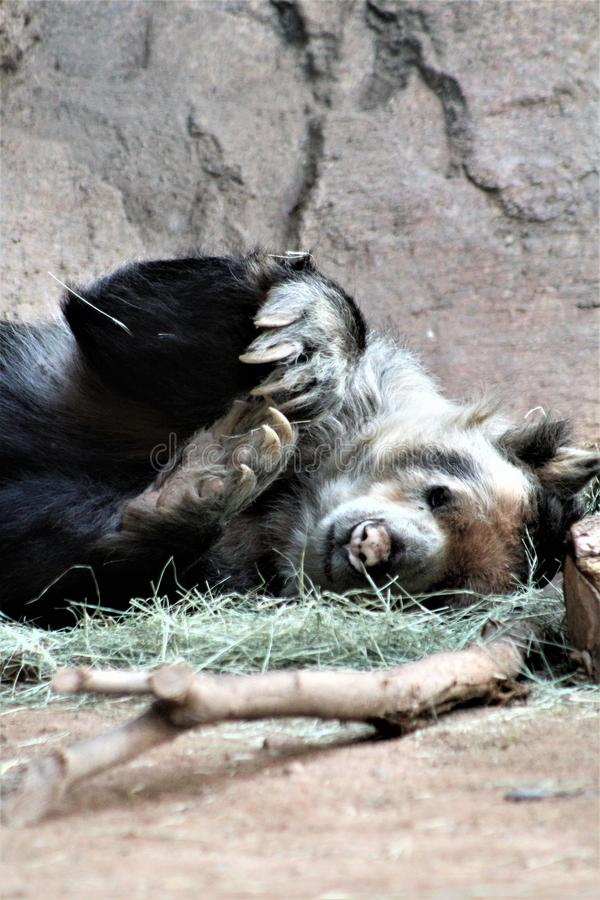 Andean bear laying down at the Phoenix Zoo, in Phoenix, Arizona, United States stock photo