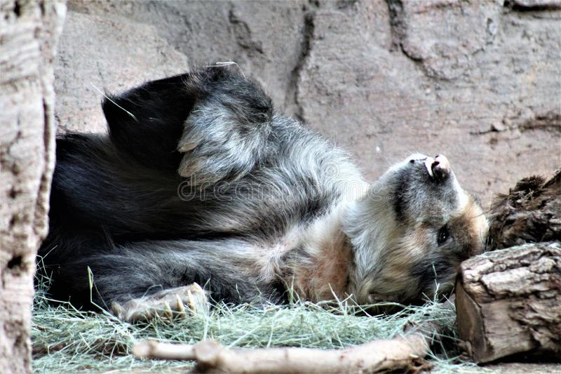 Andean bear laying down at the Phoenix Zoo, in Phoenix, Arizona, United States stock image