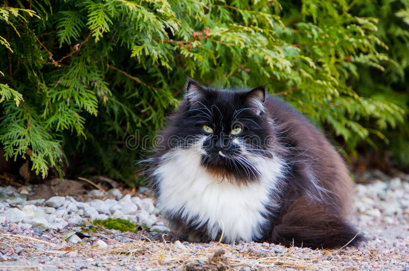 Furry black and white cat. A fury long haired black and white cat with yellow eyes royalty free stock photos