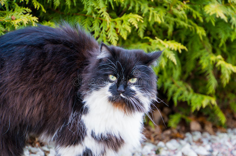 Furry black and white cat. A fury long haired black and white cat with yellow eyes royalty free stock photo