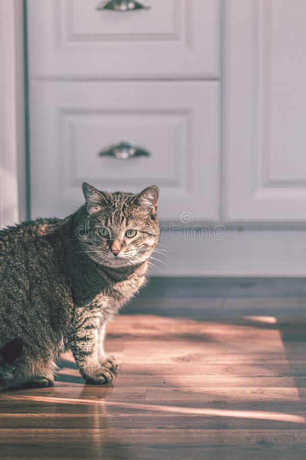 Furry brown and grey kitty is relaxing at home. On the wooden floor in the sunny kitchen royalty free stock photography