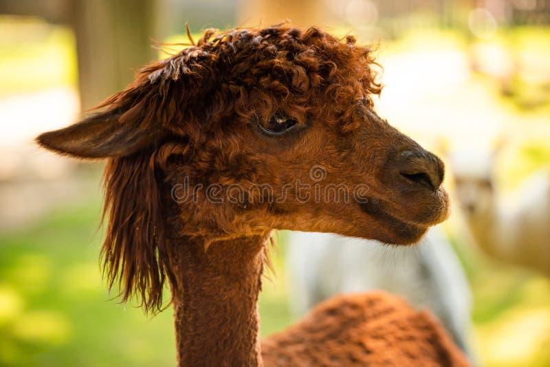 Furry Brown lama no zoológico Áustria Styria Herberstein, destino turístico no outono fotografia de stock