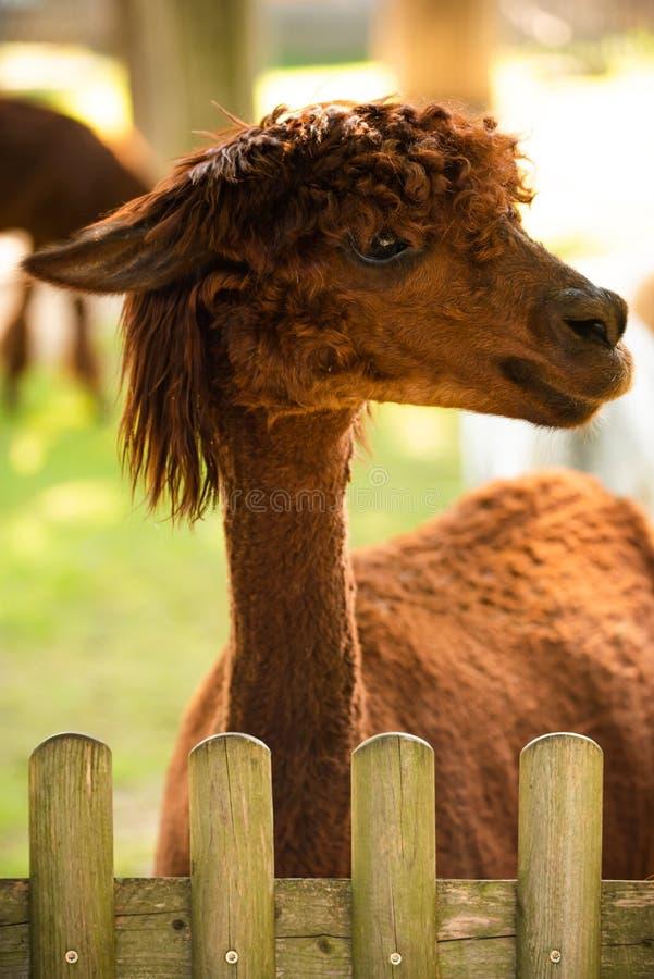 Furry Brown lama no zoológico Áustria Styria Herberstein, destino turístico no outono imagem de stock royalty free