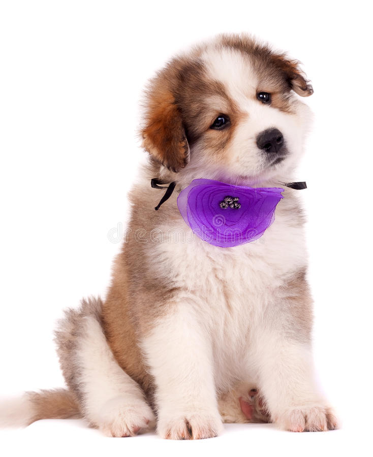 Download Furry Bucovinean Shepard Puppy Stock Photo - Image: 16433346