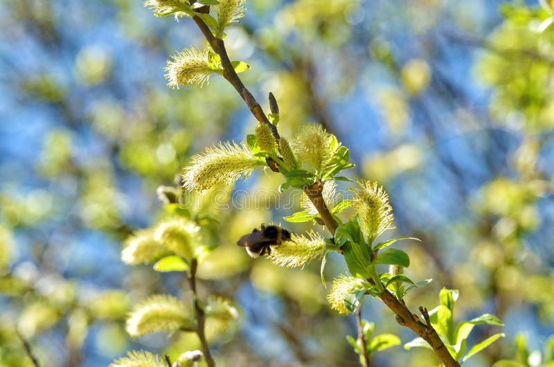 The furry buds of willow. These inflorescences have a colorful look.They bloom beautifully in the spring stock images