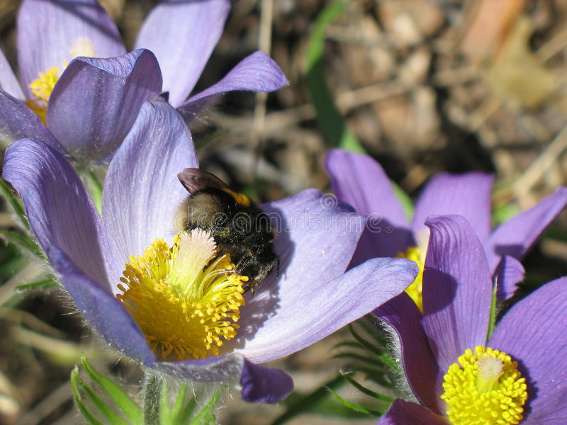 Furry bumblebee on the spring flower royalty free stock images