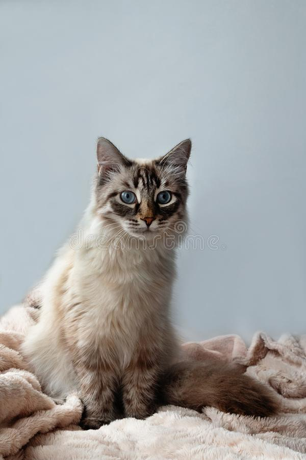 Furry cat of seal lynx point color with blue eyes on a pink blanket and gray background. royalty free stock photo