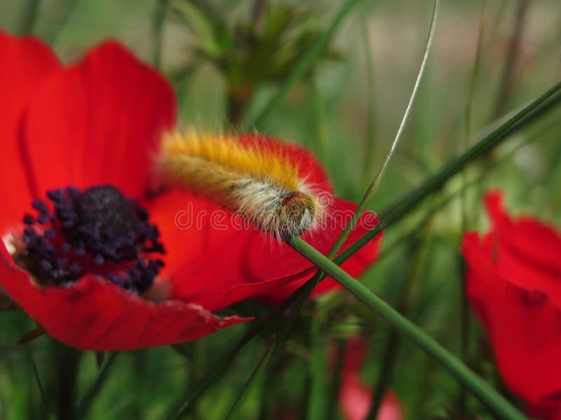 Furry caterpillar on a poppy stock photography