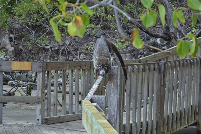 Furry coati, membro da família raccoon, conhecido por incomodar atrações turísticas da América do Sul no país fotografia de stock royalty free