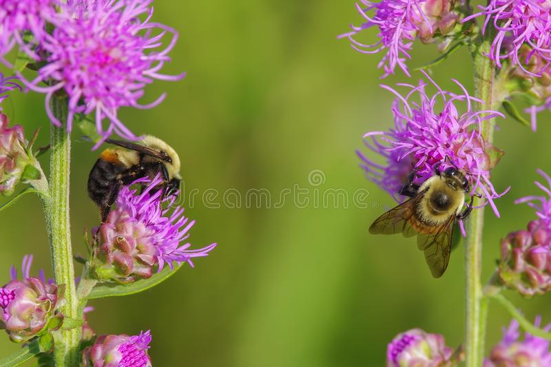Furry cute bumble bees feeding and pollinating on what I believe is a purple rough blazing star flower - smooth green background -. In Crex Meadows Wildlife stock image
