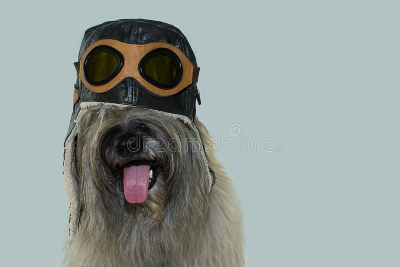FURRY DOG WEARING AN AVIATOR OR PILOT HAT WITH GOGGLES. ISOLATED ON BLUE COLORED BACKGROUND. IMAGINATION, TRAVELING OR DREAM. FURRY DOG WEARING AN AVIATOR OR royalty free stock image