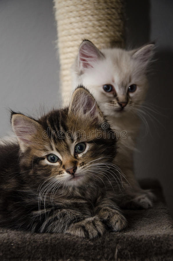 2 furry faces and 2 fluffy kittens. Relaxing together royalty free stock photo