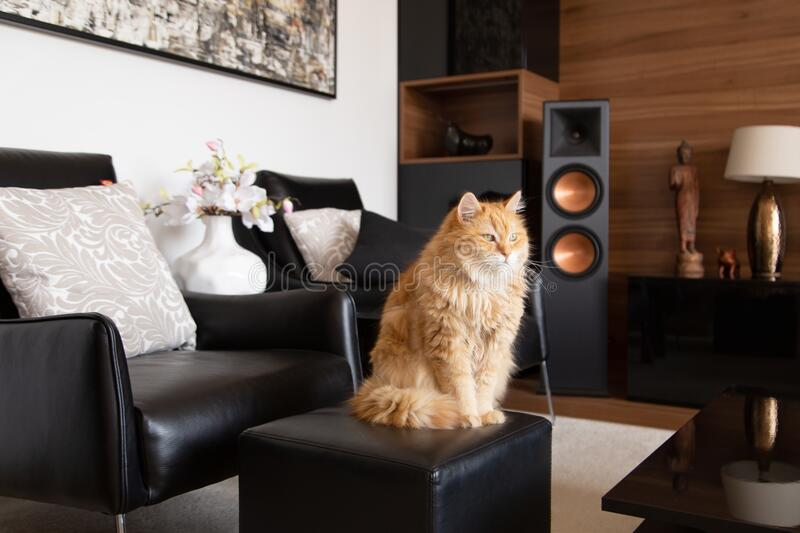 Furry ginger domestic cat sitting and relaxing on the tabure chair stock photos