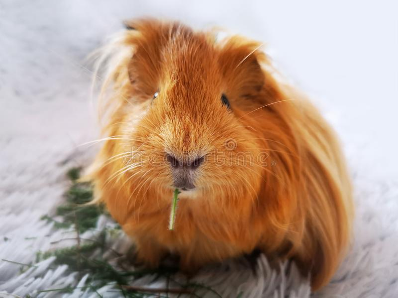 Furry ginger guinea pig eating royalty free stock image