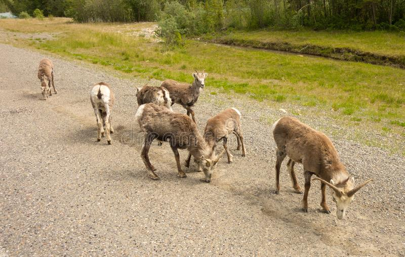Stone sheep licking salt from a road in the springtime royalty free stock photos