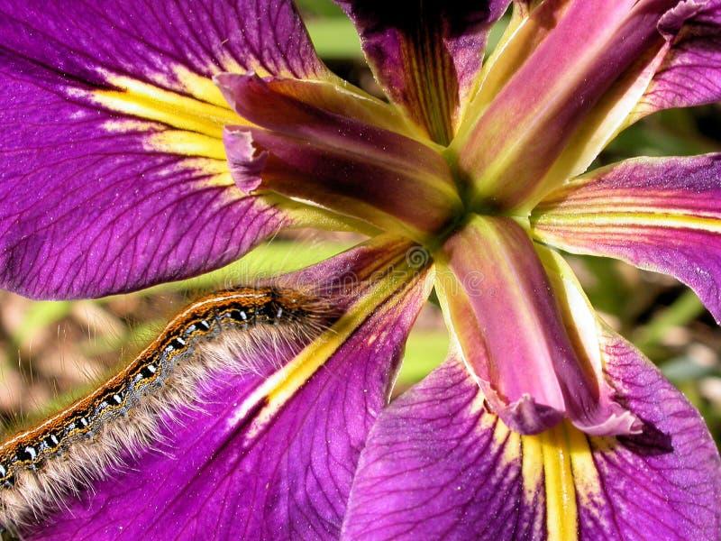 furry iris för caterpillar arkivfoton