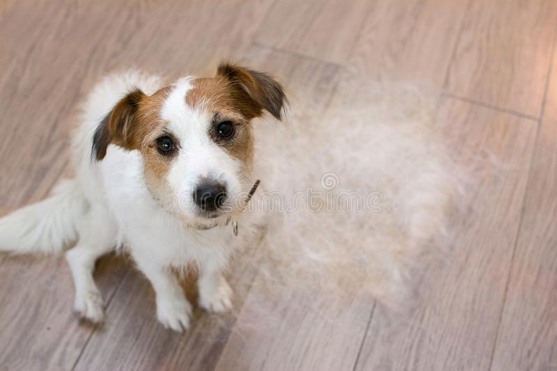 FURRY JACK RUSSELL DOG, SHEDDING HAIR DURING MOLT SEASON, AFTER ITS OWNER BRUSHED OR GROOMING LOOKING UP WITH SAD EXPRESSION. CUTE AND FURRY JACK RUSSELL DOG stock image