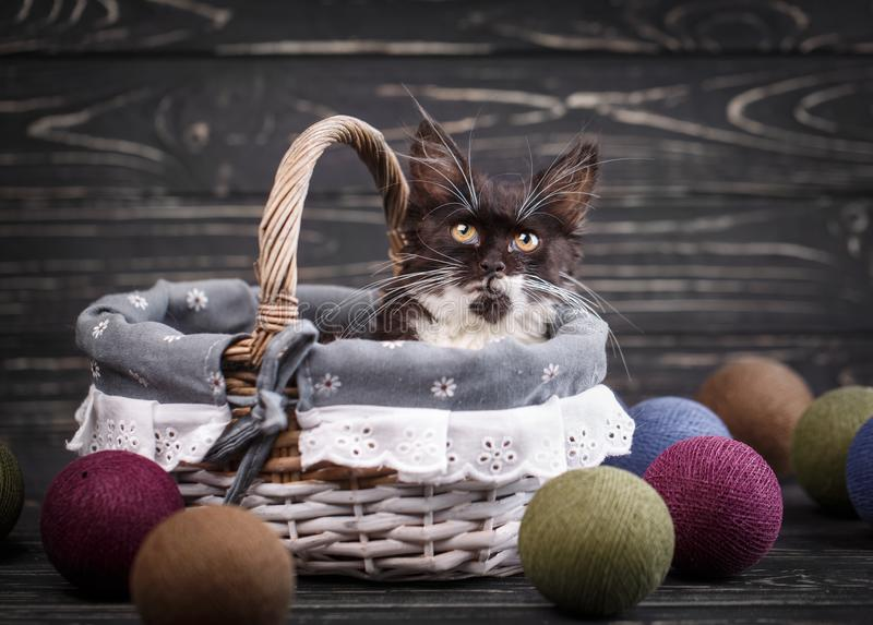 A furry kitten with long mustache sits in a basket royalty free stock photography