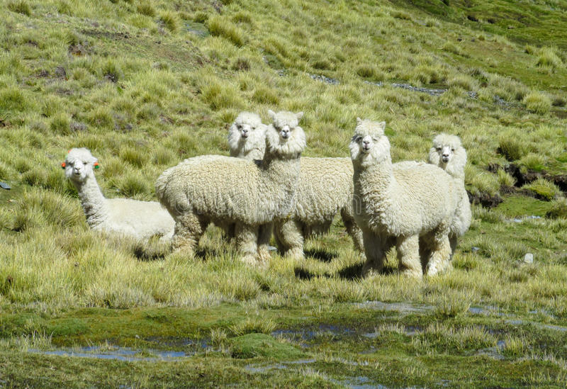 Furry lamas on green meadow. At the altiplano mountains in Peru and Bolivia stock photography