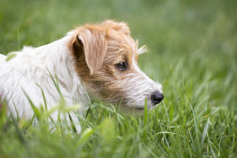 Furry lazy jack russell cute pet dog resting in the grass. Furry lazy jack russell terrier - cute pet dog resting in the grass royalty free stock images