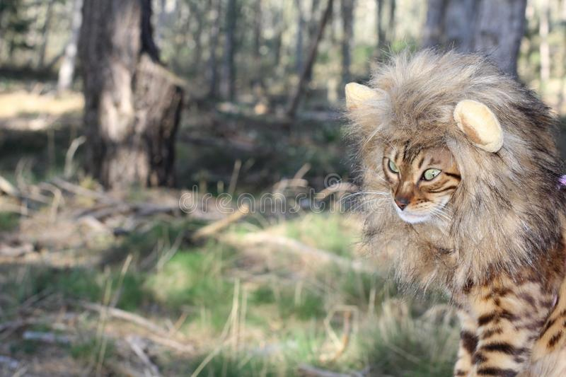 Furry little king of the jungle royalty free stock photography