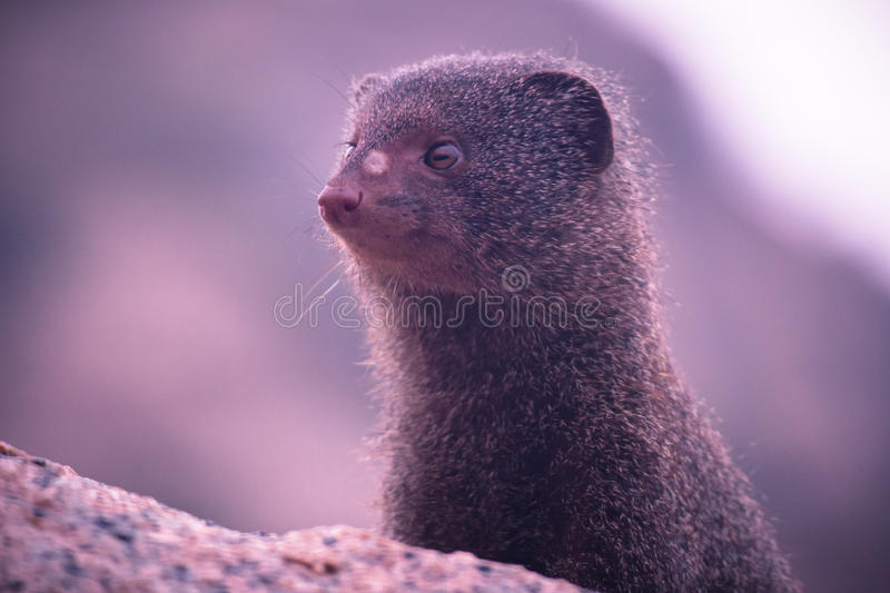 Furry mammal head. Close up of furry mammal head peaking out royalty free stock photos