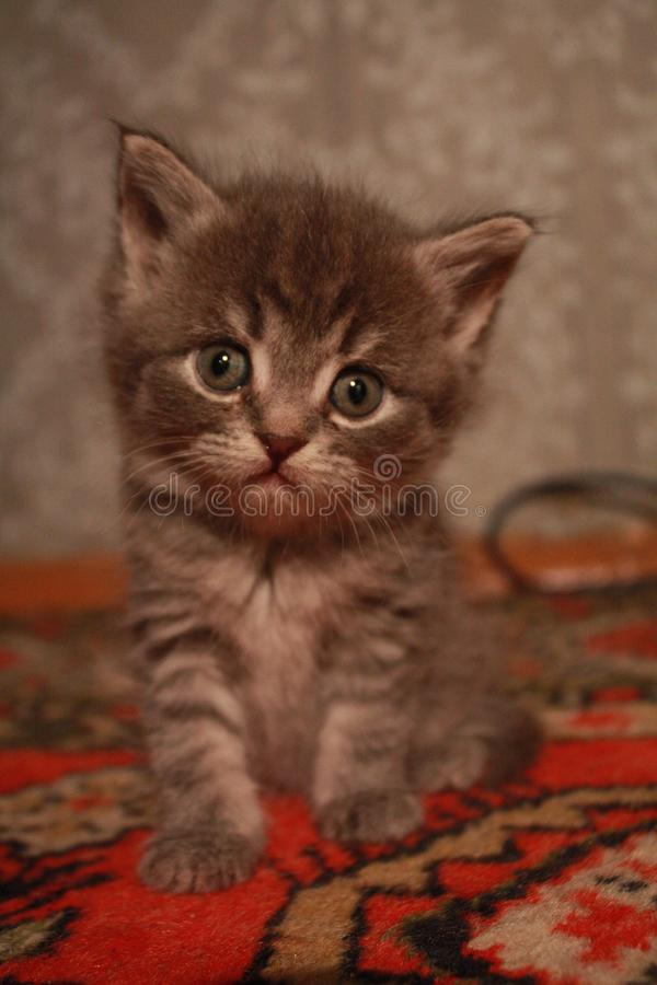 Furry miracle. A little fluffy kitten is sitting on the carpet and looks at you cutely stock photo