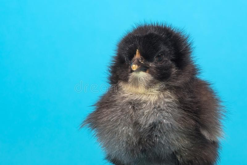 Furry, puffed up, chicken on a blue background royalty free stock photos