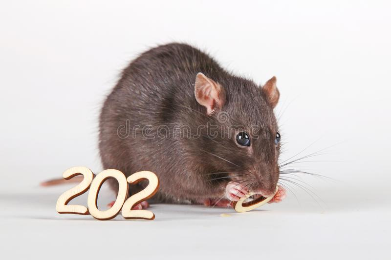A furry rat, the symbol of the year, nibbles at the wooden numbers. royalty free stock images