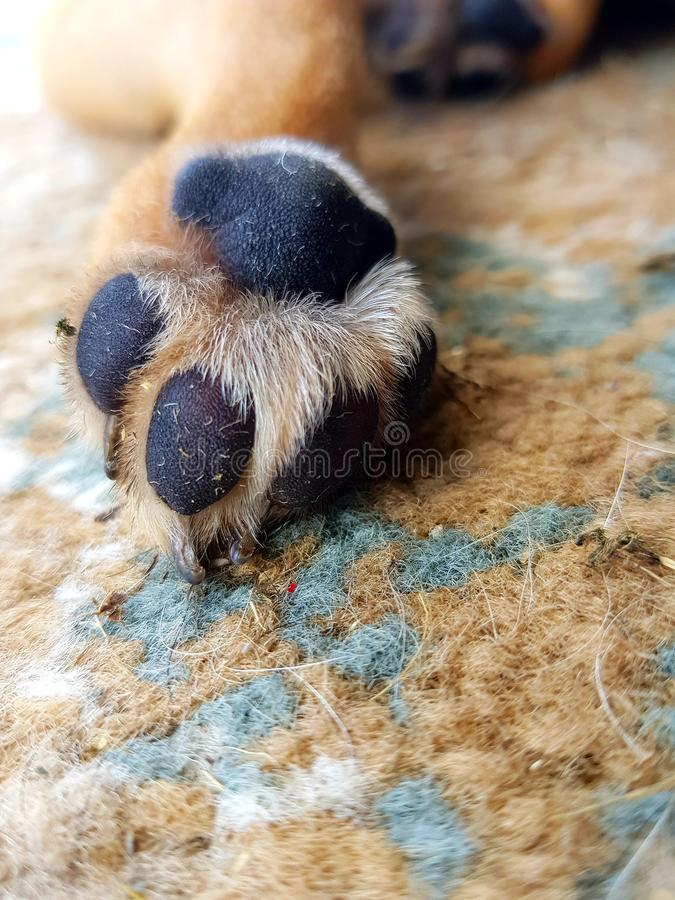 Puppy paw royalty free stock photo