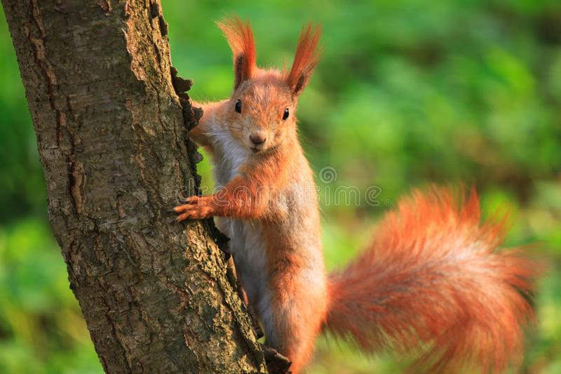 Furry squirrel in spring City Park. Furry squirrel is sitting on the tree in spring City Park royalty free stock photos