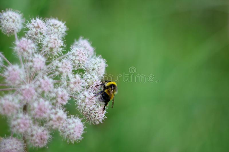 A furry striped bumblebee sits on a poisonous white flower of a water Hemlock on a green background. Close up, side view royalty free stock photo