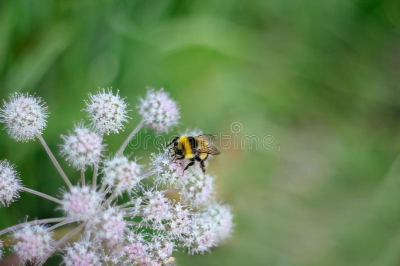 A furry striped bumblebee sits on a poisonous white flower of a water Hemlock on a green background. Textured wings stock images